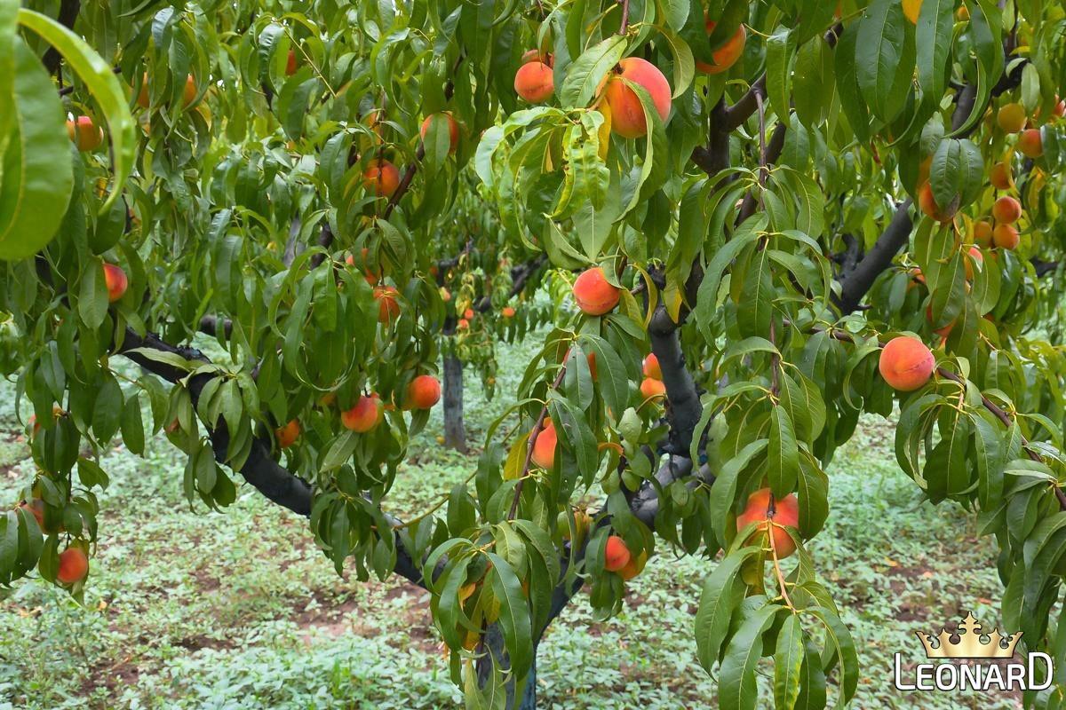 هر قسمت میوه هلو پر خاصیت است